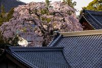 2020桜咲く奈良護念院のしだれ桜(當麻寺塔頭) - 花景色-K.W.C. PhotoBlog