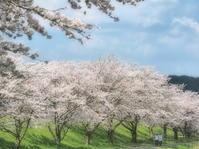 桜22京都府 - ty4834 四季の写真Ⅱ