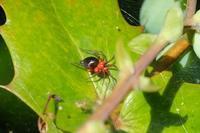 ■蜘蛛 3種 (2)20.4.19(クサグモ、ハナグモ、ワカバグモ) - 舞岡公園の自然2