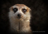 ミーアキャット:Meerkat - 動物園の住人たち写真展(はなけもの写眞館)