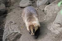 タヌキの「ポン」は何故、回る!?(井の頭自然文化園 May 2019) - 続々・動物園ありマス。