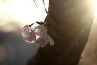桜便り´20#12 - 但馬・写真日和