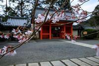 2020桜咲く京都 毘沙門堂の彼岸桜とサンシュユ - 花景色-K.W.C. PhotoBlog