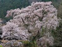 桜 23奈良県 - ty4834 四季の写真Ⅱ