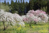 花桃 - 薫の時の記憶