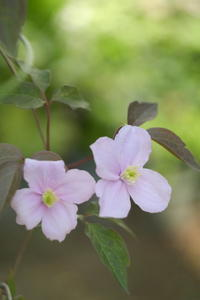Spring Gardenクレマチス・モンタナルーベンス - aya's photo