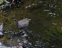 ヒナから幼鳥へ、、 - ぶらり探鳥