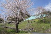 桜とタンポポとアイツ....のはなし - あまねの山女