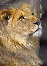 2020.3.16 宇都宮動物園☆ライオンのゴーくん【Lion】 - 青空に浮かぶ月を眺めながら