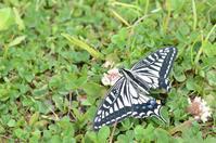 春型のナミアゲハの吸蜜。 - 堺のチョウ