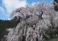 桜 24奈良県 - ty4834 四季の写真Ⅱ