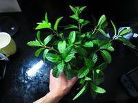 植物「自宅で出来るガーデニング」 - 孤影悄然