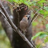 葉桜にシメ - 打出頑爺の鳥探し