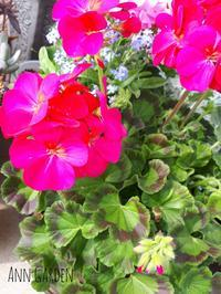 ゼラニウムと満開と・・ - アンの寄せ鉢ガーデン