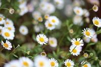 庭の小さな花 - ミセス サファイア 静けさの中で