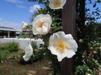 ナニワイバラが咲き始めました - ニッキーののんびり気まま暮らし