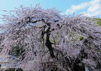 桜 25奈良県 - ty4834 四季の写真Ⅱ