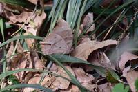 ORAGA里山にも本格的な蝶シーズン到来、ジャノメ達がお目見え(2020/04/16・17) - 里山便り