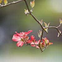 公園のハナミズキ - 四季の予感