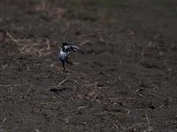 このご時世に・・・オオカラモズ⑥。(飛翔編その②) - 鳥見んGOO!(とりみんぐー!)野鳥との出逢い