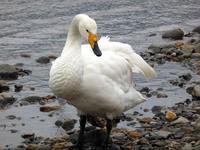 この地に留まる白鳥たち - 孤独と私