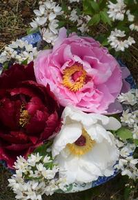 牡丹を育てていて注意する点 - バラとハーブのある暮らし Salon de Roses