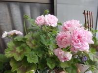 薔薇咲きゼラニウム - だんご虫の花