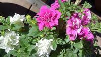 サフィニア・フリル開花 - うちの庭の備忘録 green's garden
