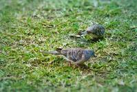 オーストラリア・チョウショウバト(オーストラリア長嘯鳩) - 世話要らずの庭