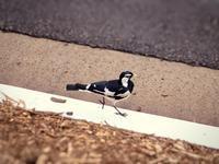 ツチスドリ(土巣鳥) - 世話要らずの庭