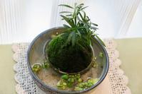 苔玉と極小ビオトープ - 光さんの日常2