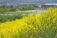 桂川の菜の花 - Taro's Photo