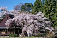 桜 26奈良県 - ty4834 四季の写真Ⅱ