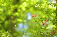 新緑 - お花びより
