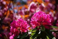 石楠花と八重桜 - kogomiの気ままな一コマ