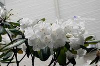 石楠花(しゃくなげ) - azure 自然散策 ~自然・季節・野鳥~
