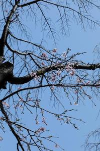 桜 - memory