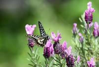 フレンチラベンダーにアゲハチョウ - 旅のかほり