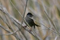 キガシラシトド - そらと林と鳥