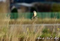 2回目は晴天でした^^珍鳥「オオカラモズ」さん♪byミント編 - ケンケン&ミントの鳥撮りLifeⅡ