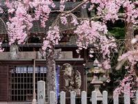 桜 27奈良県 - ty4834 四季の写真Ⅱ