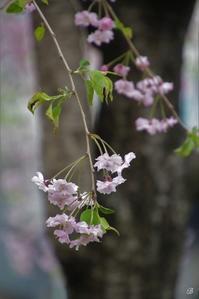 私の桜 2020 - Bamboobooのひとりごと