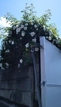 """白くて大きな花の""""ナニワイバラ(難波茨)""""が満開でした! - 健気に育つ植物たち"""