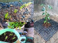 新芽の成長 ニラ シシトウ - NATURALLY
