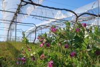 カラスエンドウの花 - ~葡萄と田舎時間~ 西田葡萄園のブログ