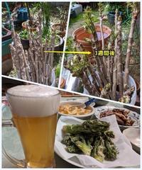 タラノキ水差し栽培 - ■■ Ainame60 たまたま日記 ■■