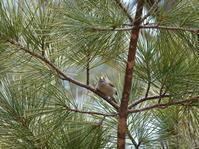 松の樹のキクイタダキさん。 - ヒロムシ君のお散歩日記