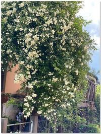 モッコウバラ咲いた♪ - 小さな庭 2