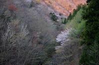 芽吹きの山腹の山桜木梶林道 - 峰さんの山あるき
