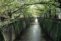 新緑と春の花(新緑の目黒川) - マルオのphoto散歩